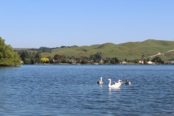 Lake Rotoiti at Okawa Bay - Swans